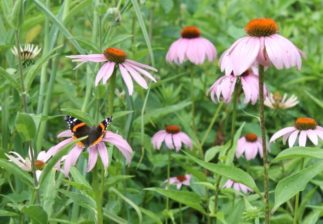 Red-admiral-on-coneflower
