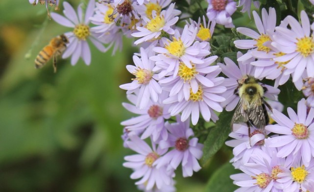 Pollinators-on-asters
